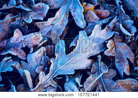 frosted abstract oak leafage - natural background
