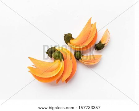 Palas yellow flower color on white background