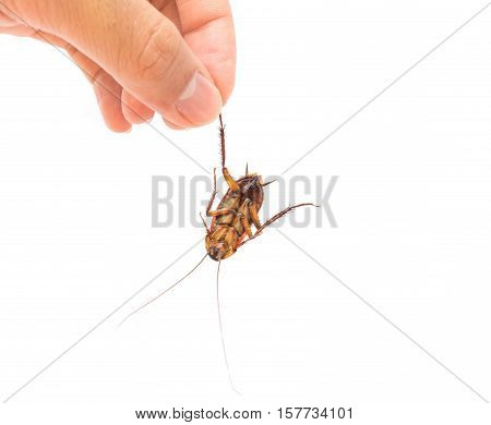 Hand hold dead cockroach on white background