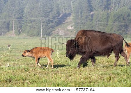 A Buffalo cow anxiously chases her  runaway calf