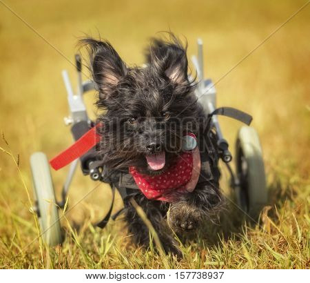 Terrier mix dog running towards the camera using a two wheeled device.