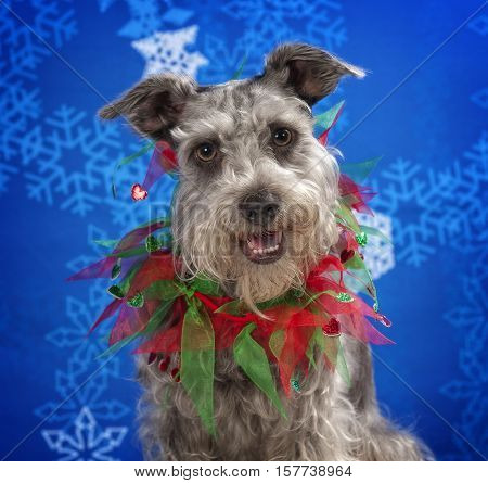 A Miniature Schnauzer wearing a Christmas necklace.