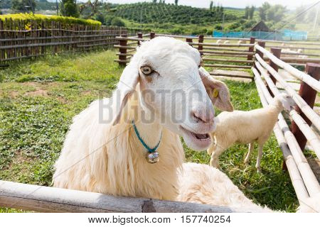 young cute white sheep in farm asking for food