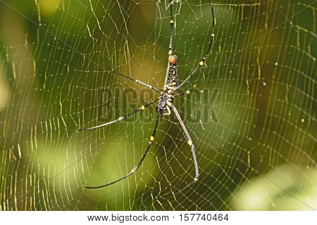 Northern Golden Orb Weaver Spider in Assam India