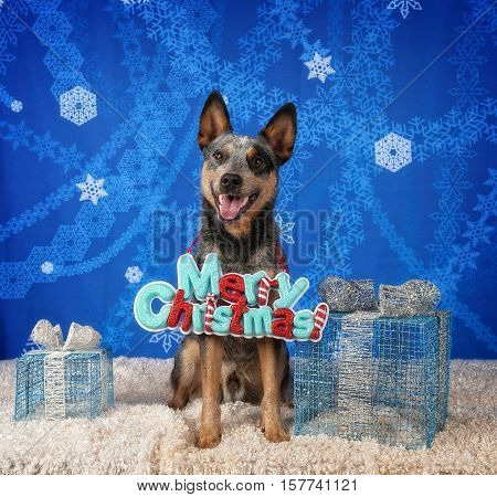 An Australian Cattle Dog wearing a Merry Christmas sign around his neck.