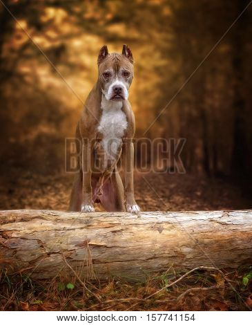 A Pit-Bull standing on a tree branch in the middle of the forest.