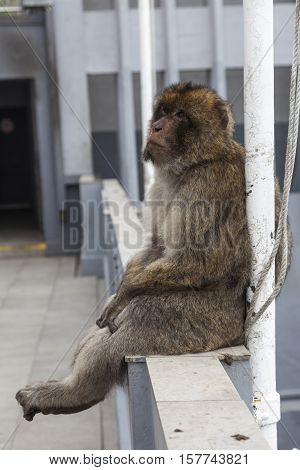 Gibraltar Monkey or Barbary Macaque sitting on the fence at top of the rock above Gibraltar