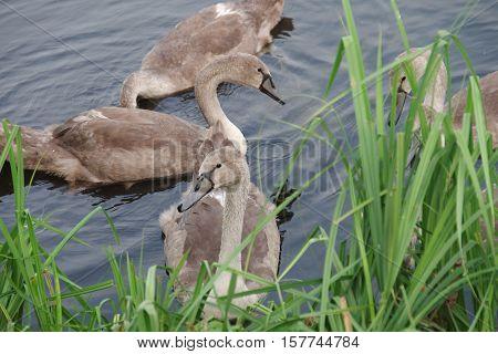 Adults Swan Chicks.