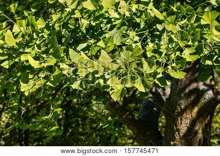 closeup of fresh maidenhair tree leaves in springtime
