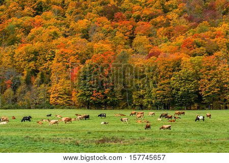 Cattle grazing in a field in Vermont during Fall Foliage Season