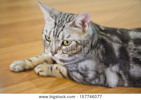Focus to The lovely american shorthair cat