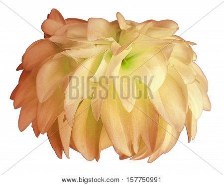 yellow-pink Dahlia flower white background isolated with clipping path. Closeup. with no shadows. for design. Nature.