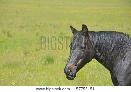 Black horse in grassy wildflower meadow. Copy space for text.