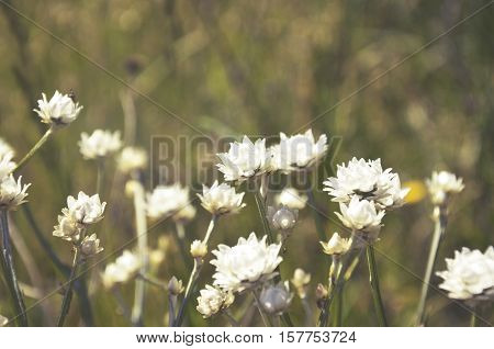White Everlasting daisies growing in the countryside, NSW, Australia.