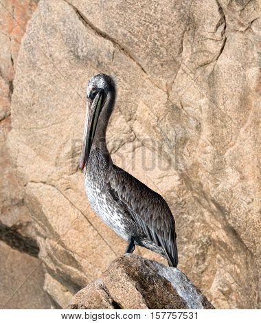 Sunlit Pelican perching on Los Arcos rocks at Lands End in Cabo San Lucas Baja Mexico