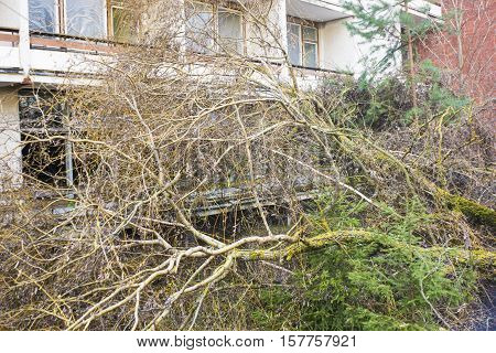Fallen willow tree after a severe storm in autumn in a residential neighborhood