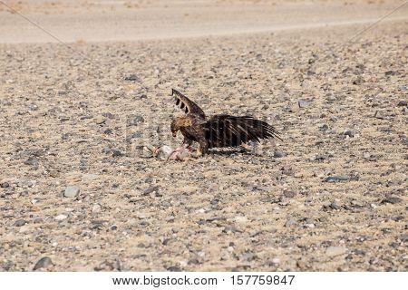 The Eagle Hunters Hunting Rabbit At Ulgii, Mongolia