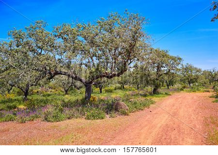 Via de la Plata way to Santiago in Dehesas of Spain at Extremadura Cornalvo and Sierra Bermeja