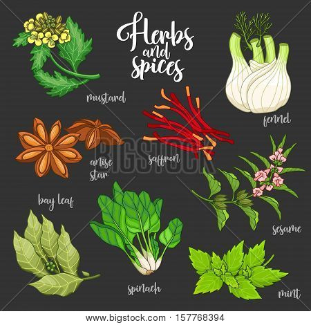 Spices and herbs vector set to prepare delicious and healthy food. Colored botanical illustration on dark background with mustard, bay leaf, anise star, saffron, sesame, fennel, mint, spinach.