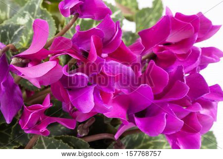 Flowers of blooming pink cyclamen isolated on white background