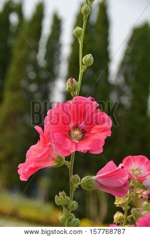 Pink red and fresh hollyhock in the garden