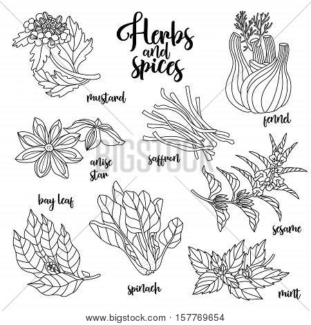 Spices and herbs vector set to prepare delicious and healthy food. Contour botanical illustration on white background with mustard, bay leaf, anise star, saffron, sesame, fennel, mint, spinach.