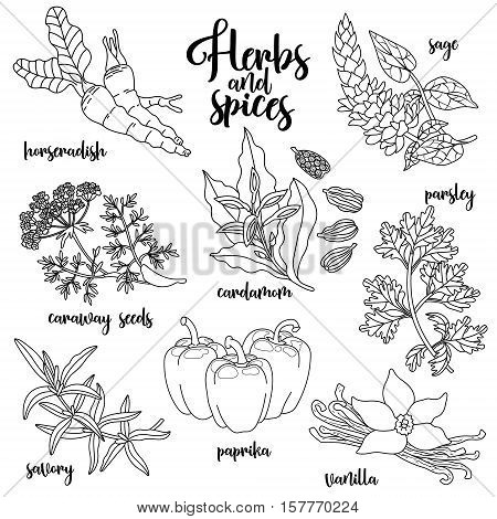 Spices and herbs vector set to prepare delicious healthy food. Contour botanical illustration on white background with horseradish, sage, caraway seeds, savory, cardamom, paprika, parsley, vanilla.