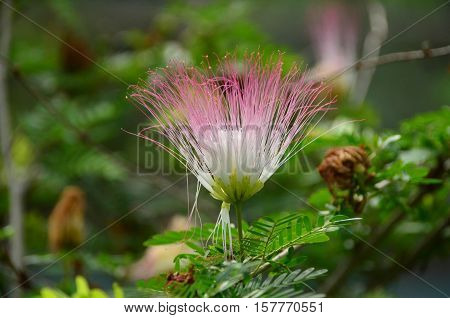 Pink and white tassel flower on the branch