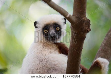 Lemur Coquerel's Sifaka (propithecus Coquereli)