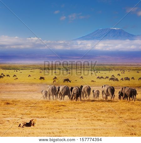 Beautiful view of African lion watching over elephants and wildebeests during Great migration with Kilimanjaro at the background