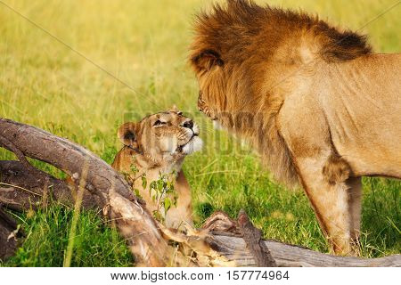 Portrait of beautiful lioness laying on green grass and looking at lion