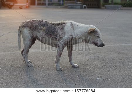 Poor mangy dog. Dog Skin Infection. gangrene