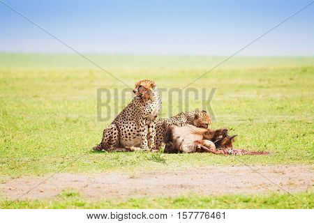 Portrait of two African cheetahs eating the carcass of a wildebeest at Kenyan savanna
