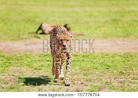 Portrait of wild cheetah walking after feasting at African savanna, Kenya