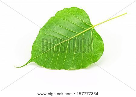 Sacred fig leaf (Ficus religiosa L. Pipal Tree Bohhi Tree Bo Tree Peepul ) on white background