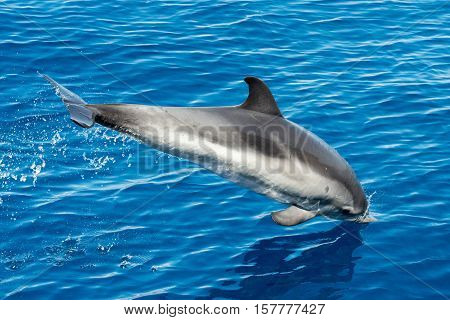 striped dolphin jumping outside the sea close