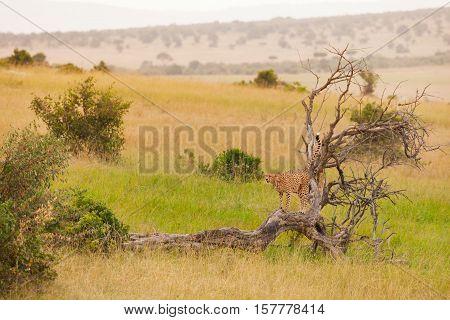 African cheetah standing in a distance on a dead tree at savanna, Masai Mara National Reserve, Kenya
