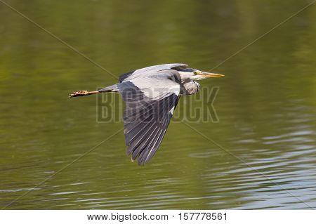 Portrait of grey heron (Ardea cinerea) in flight over water surface