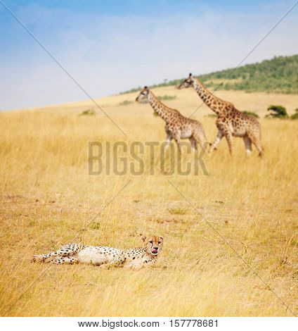 Portrait of African cheetah laying on grass at savanna, Kenya, Masai Mara National Reserve