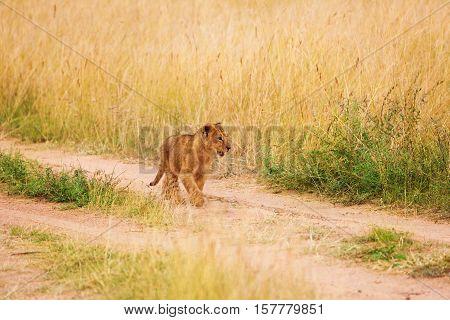 Portrait of lion cub walking alone in savannah, Masai Mara National Reserve