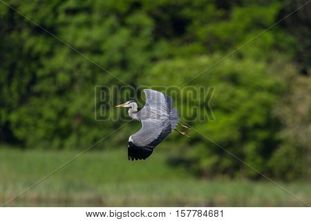 Grey Heron (ardea cinerea) during flight with natural green background