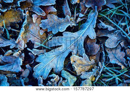 frozen abstract oak leafage natural background