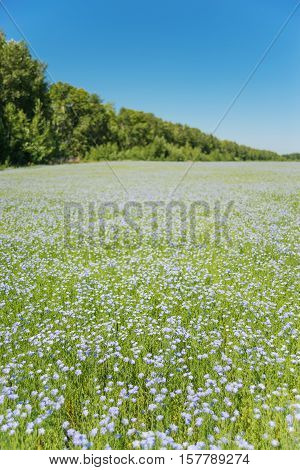 Vast blue field of blooming flax under the blue sky