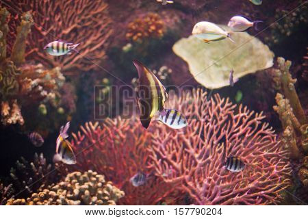 Undersea world coral reef with exotic fishes