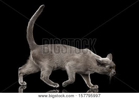 Blue Burmese Kitten, walking crouching at side view on Isolated black background with reflection