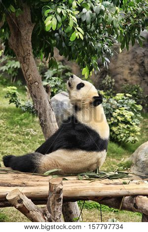 Big panda in zoo Hong Kong, Hong Kong