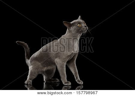 Blue Burmese Kitten, standing at side view, Looking clumsy, on Isolated black background with reflection
