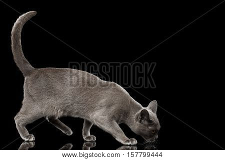 Blue Burmese Kitten sniffing, walking crouching at side view on Isolated black background with reflection
