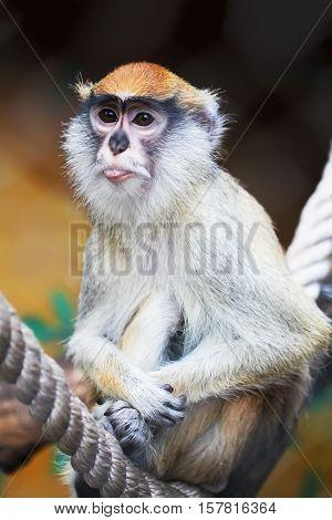 Hussar monkey showing tongue animal portrait close up zoo photo