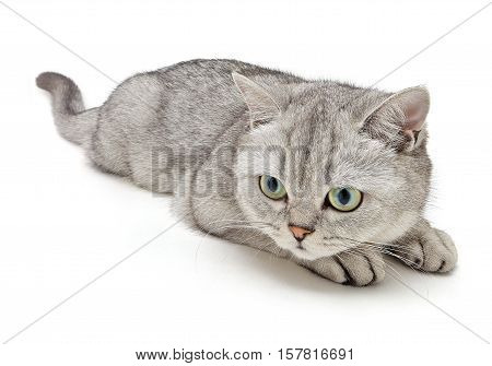 British Shorthair cat is playing on a white background.